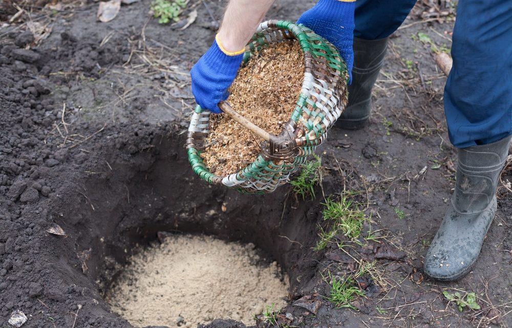 La plantation des arbustes à baies dans le jardin